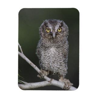Eastern Screech-Owl, Megascops asio, Otus 2 Magnet