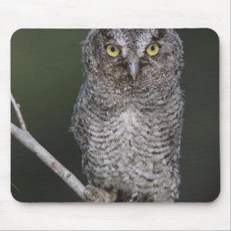 Eastern Screech-Owl, Megascops asio, Otus 2 Mouse Pad