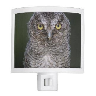 Eastern Screech-Owl, Megascops asio, Otus 2 Night Light