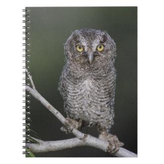 Eastern Screech-Owl, Megascops asio, Otus 2 Notebook