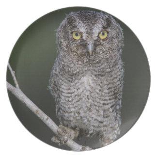 Eastern Screech-Owl, Megascops asio, Otus 2 Plate