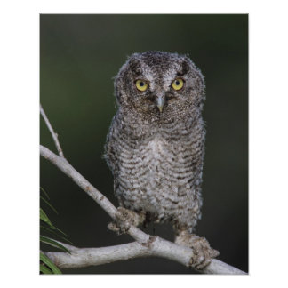 Eastern Screech-Owl, Megascops asio, Otus 2 Poster