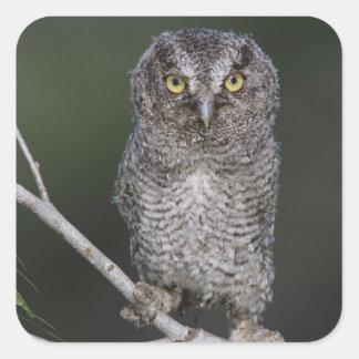 Eastern Screech-Owl, Megascops asio, Otus 2 Stickers