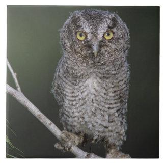 Eastern Screech-Owl, Megascops asio, Otus 2 Tile