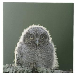 Eastern Screech-Owl, Megascops asio, Otus 3 Ceramic Tile