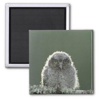 Eastern Screech-Owl, Megascops asio, Otus 3 Magnet