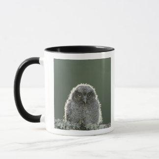 Eastern Screech-Owl, Megascops asio, Otus 3 Mug