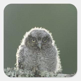Eastern Screech-Owl, Megascops asio, Otus 3 Sticker