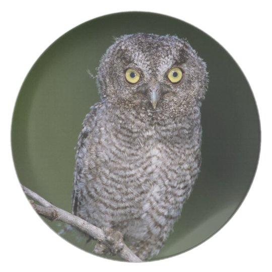 Eastern Screech-Owl, Megascops asio, Otus Dinner Plate