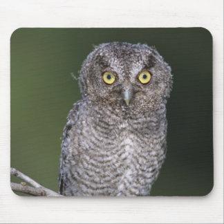 Eastern Screech-Owl, Megascops asio, Otus Mouse Pad