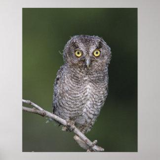 Eastern Screech-Owl, Megascops asio, Otus Poster