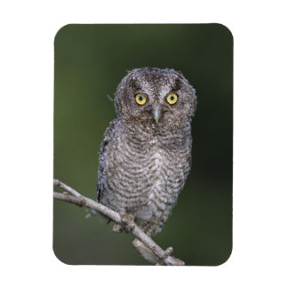 Eastern Screech-Owl, Megascops asio, Otus Rectangular Photo Magnet