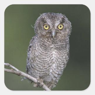 Eastern Screech-Owl, Megascops asio, Otus Sticker
