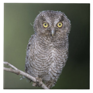 Eastern Screech-Owl, Megascops asio, Otus Tile