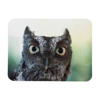 Eastern Screech Owl Portrait Showing Large Eyes Magnet