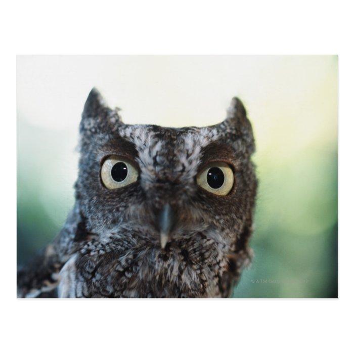 Eastern Screech Owl Portrait Showing Large Eyes Postcard