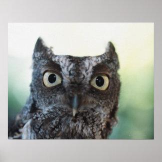 Eastern Screech Owl Portrait Showing Large Eyes Poster