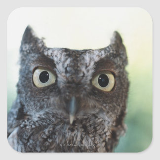 Eastern Screech Owl Portrait Showing Large Eyes Square Sticker