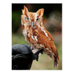 Eastern Screech Owl (Red-phase) Otus asio postcard