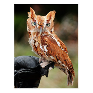 Eastern Screech Owl (Red-phase) Otus asio postcard