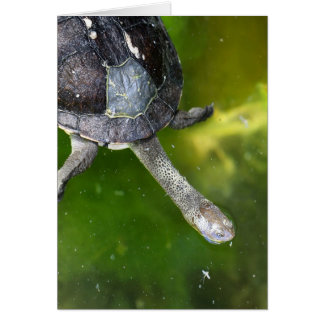 Eastern Snake-Necked Turtle Card