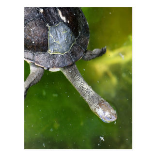 Eastern Snake-Necked Turtle Postcard