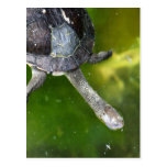 Eastern Snake-Necked Turtle Postcards