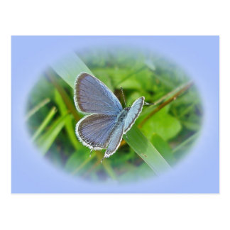 Eastern Tailed Blue Butterfly Coordinating Items Postcard