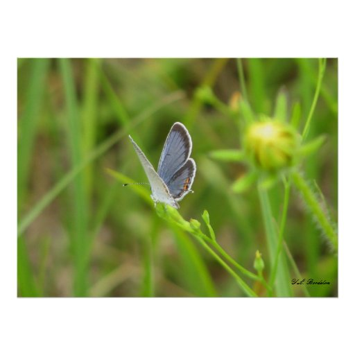 Eastern Tailed-Blue Butterfly Poster