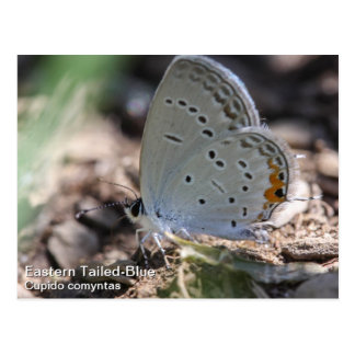 Eastern Tailed-Blue Postcard