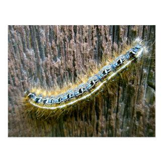 Eastern Tent Caterpillar Postcard