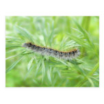 Eastern Tent Caterpillar Postcards