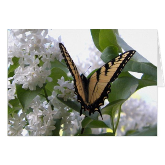 Eastern Tiger Swallow Tail on White Lilac Bush Card