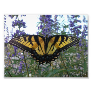 Eastern Tiger Swallowtail Butterfly Photo Print