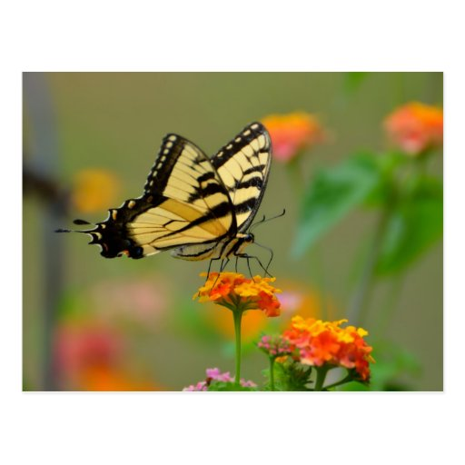Eastern Tiger Swallowtail Butterfly Postcards