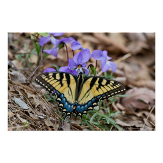 Eastern Tiger Swallowtail Butterfly Violets Poster