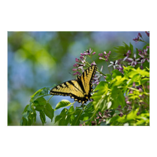 Eastern Tiger Swallowtail China Berry Tree Poster