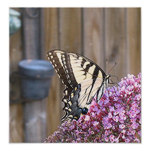 EASTERN TIGER SWALLOWTAIL IN THE GARDEN poster