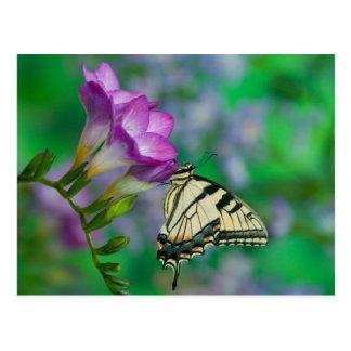 Eastern Tiger Swallowtail on Fresia - Sammamish Postcard