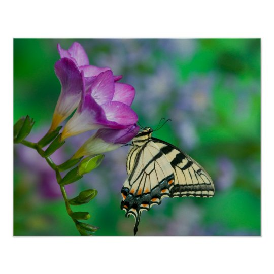 Eastern Tiger Swallowtail on Fresia - Sammamish Poster