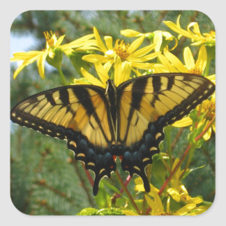 Eastern Tiger Swallowtail on Yellow Daisies Square Sticker