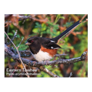 Eastern Towhee Post Cards