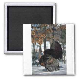Eastern wild turkey, big gobbler strutting in snow 2 inch square magnet