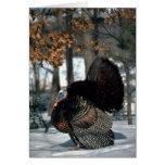 Eastern wild turkey, big gobbler strutting in snow card