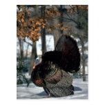 Eastern wild turkey, big gobbler strutting in snow post card