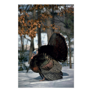 Eastern wild turkey, big gobbler strutting in snow poster