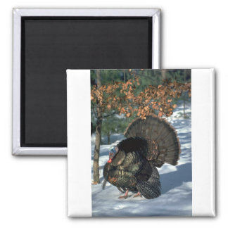 Eastern wild turkey, huge gobbler in full strut refrigerator magnets