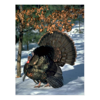 Eastern wild turkey, huge gobbler in full strut postcard