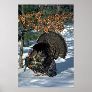 Eastern wild turkey, huge gobbler in full strut poster