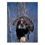 Eastern wild turkey, standing postcards